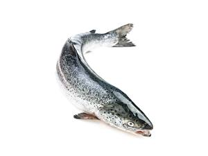 Картинки Рыба Лососи Белом фоне Atlantic salmon животное