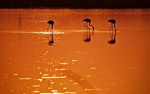 Обои Фламинго Птицы Воде Силуэта Животные