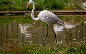 Картинка Фламинго Траве Размытый фон Животные