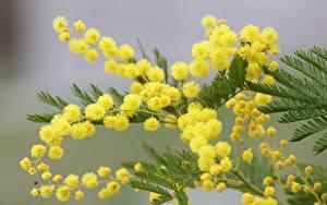 Картинки Цветущие деревья Акация серебристая 8 марта Боке Ветка цветок