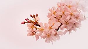 Картинки Цветущие деревья Весенние Ветвь Сакура