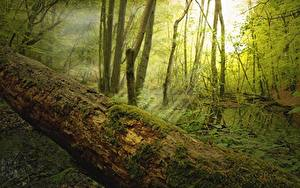 Картинка Леса Лучи света Дерево Мох Ствол дерева Природа