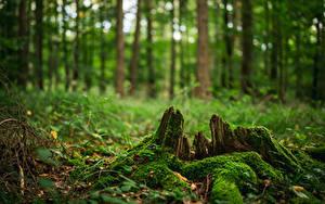Картинка Лес Пне Мха Дерево Боке Природа