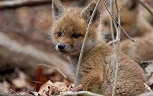 Фотография Лисица Детеныши Взгляд Животные