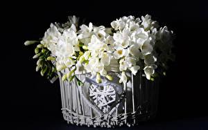 Фотографии Фрезия Черный фон Корзинка Белая Бутон цветок