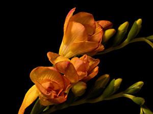Картинка Фрезия Крупным планом Черный фон Оранжевый Бутон Цветы