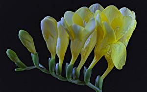 Фотографии Фрезия Крупным планом На черном фоне Желтый Цветы