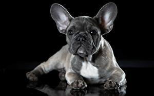 Фото Французский бульдог Собаки Серые На черном фоне животное