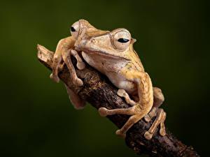 Обои для рабочего стола Лягушка Вблизи Ветки Borneo Eared Frog Животные