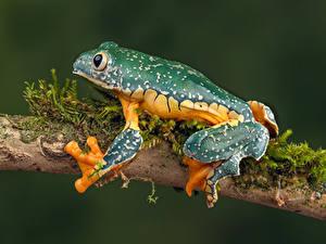 Картинки Лягушки Крупным планом Ветвь fringed leaf frog Животные