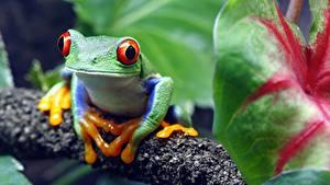 Обои для рабочего стола Лягушка Глаза Размытый фон red-eyed treefrog Животные