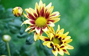 Фото Газания Размытый фон Желтых Бутон Цветы