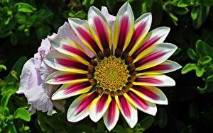 Картинка Газания Вблизи цветок