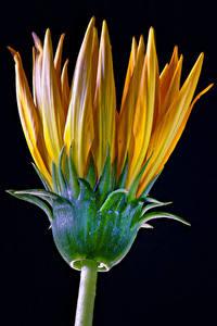Фотографии Газания Крупным планом Черный фон Оранжевых цветок