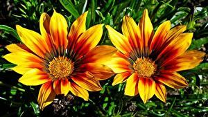 Фотография Газания Вблизи 2 Желтая цветок
