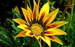 Фото Газания Вблизи Желтая цветок