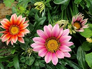 Картинки Газания Розовая цветок