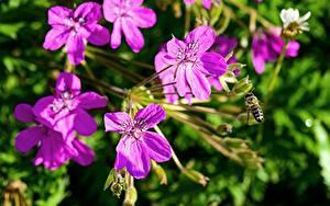 Фотографии Герань Пчелы Насекомые Вблизи Розовые Цветы