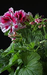 Обои Герань Вблизи Черный фон Листья Бутон Цветы