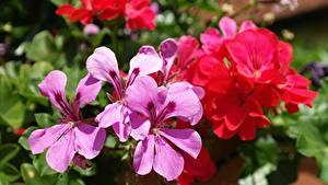 Картинка Герань Вблизи Лепестки Цветы