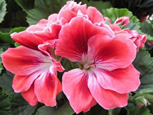 Картинка Журавельник Вблизи Розовые Цветы