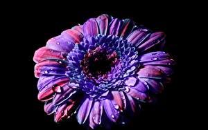 Обои Гербера Крупным планом На черном фоне Капля Фиолетовых цветок