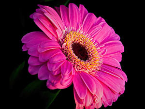 Картинка Гербера Крупным планом Черный фон Розовая цветок
