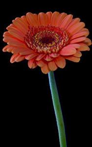 Фото Герберы Крупным планом На черном фоне Розовая Цветы