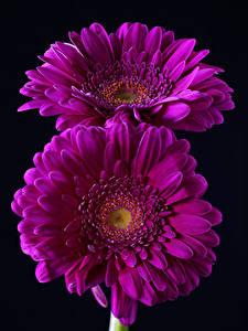 Фото Герберы Вблизи Черный фон 2 Фиолетовый Цветы