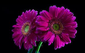 Картинки Гербера Крупным планом На черном фоне Двое Фиолетовых Цветы