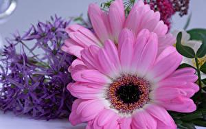 Обои Герберы Крупным планом Розовый Цветы