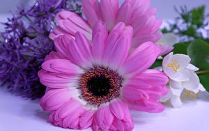 Фотографии Герберы Крупным планом Розовый Цветы