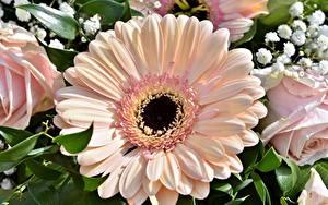 Фотографии Гербера Вблизи Розовая цветок