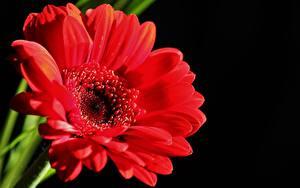 Фотографии Герберы Вблизи Красных На черном фоне цветок