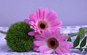 Картинка Герберы Вблизи 2 Розовая Цветы