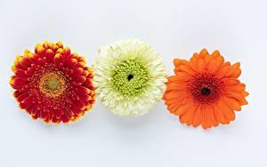 Картинки Гербера Серый фон Три Цветы