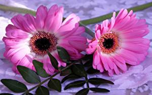 Фото Гербера 2 Розовые цветок