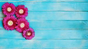 Картинки Герберы Доски цветок