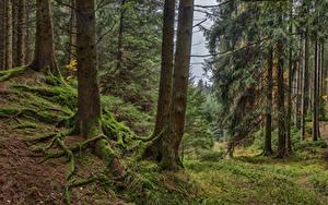 Обои Германия Леса Бавария Дерево Мхом Природа