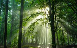 Фото Германия Леса Деревья Лучи света Schwarzwald Природа