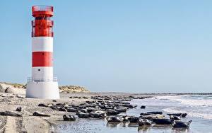 Фотографии Германия Остров Маяк Берег Морские котики Море North Sea, Helgoland Природа Животные