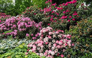 Обои Германия Рододендрон Много Кусты Berlin Gardens цветок