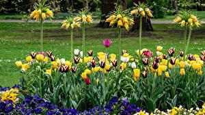 Обои Германия Тюльпаны Первоцвет Рябчик Berlin Gardens Цветы