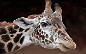 Фото Жирафы Крупным планом Голова Смотрит Животные