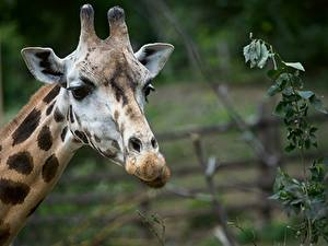 Картинка Жираф Голова Боке Взгляд животное
