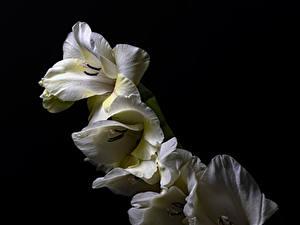 Картинки Гладиолусы Вблизи Черный фон Белых Цветы