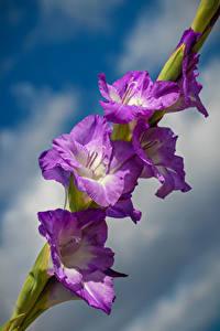 Фото Гладиолус Крупным планом Фиолетовый цветок