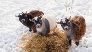 Фото Коза козел Снег Солома Втроем Смотрит Животные