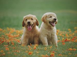 Картинки Золотистый ретривер Собаки Траве Щенки Двое Сидя Язык (анатомия) Миленькие животное