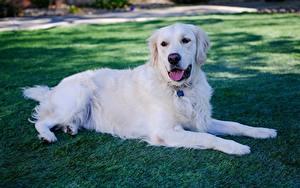 Фото Золотистый ретривер Собака Траве Белая Лежа Лап